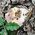 Russula vesca (6)