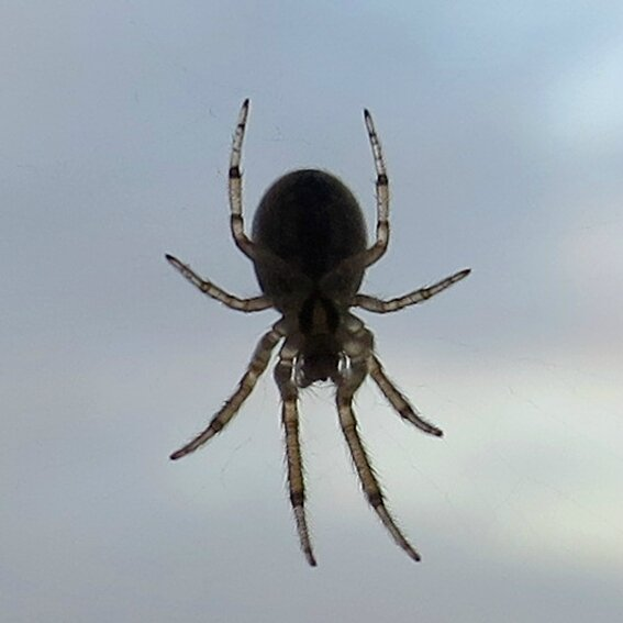 araignées c