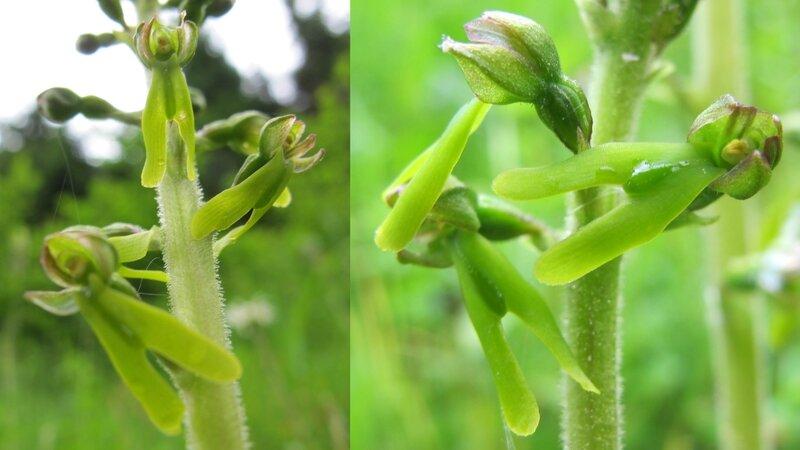 3- Listère ovale - fleurs