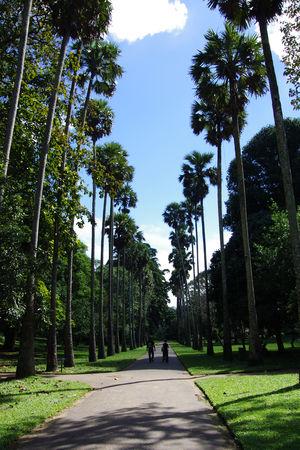 palmiers_royaux