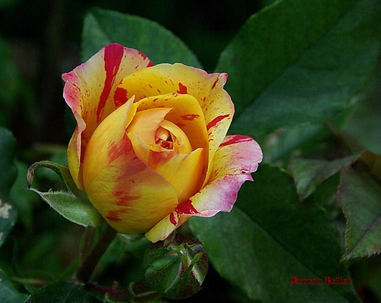 20150611_nature_flore_rose__01_redimensionner