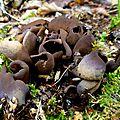 champignon : pézize aleuria badia