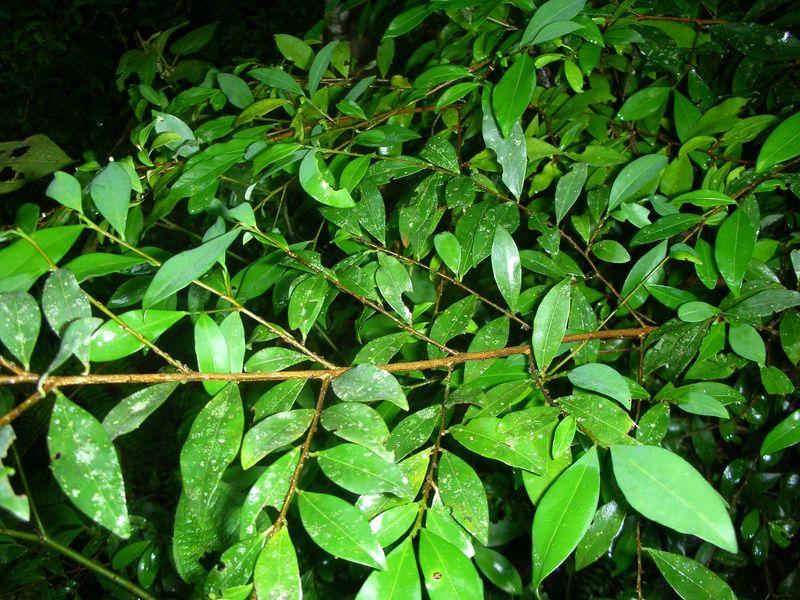 Plant de coca qui a échappé à la coupe