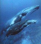 Baleine_a_Bosse_Petit_1_2