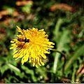 Insectes sur pisenlit