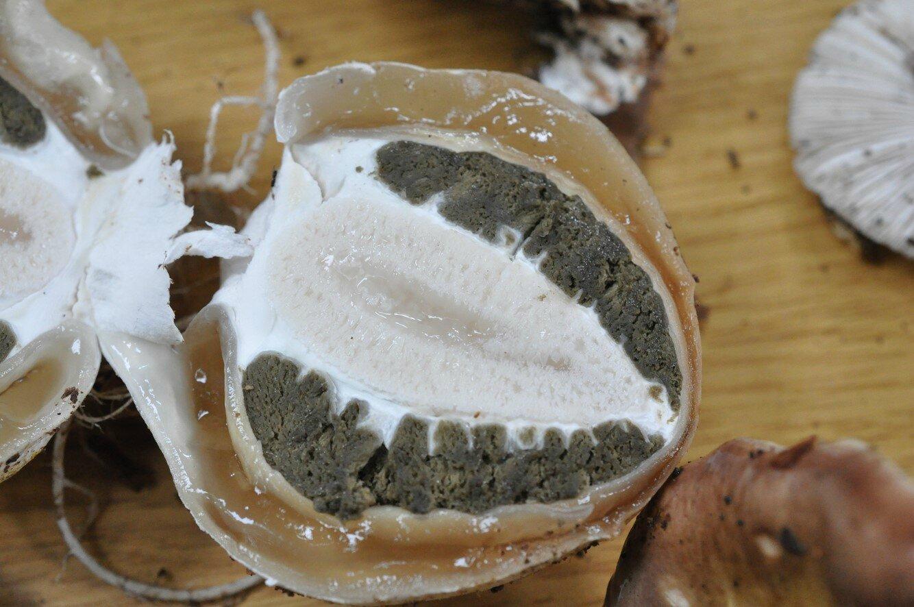 Phallus impudicus (1)