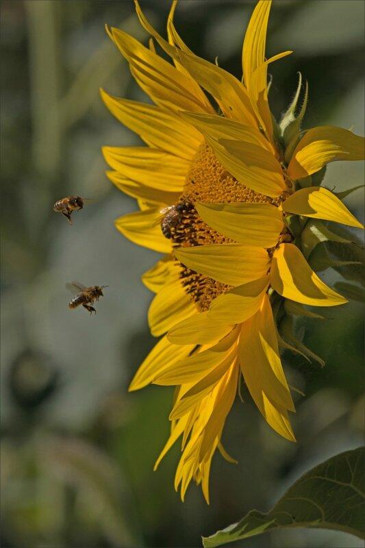 plaine tournesols abeilles 4 010815