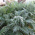 Artichauts gros vert de laon
