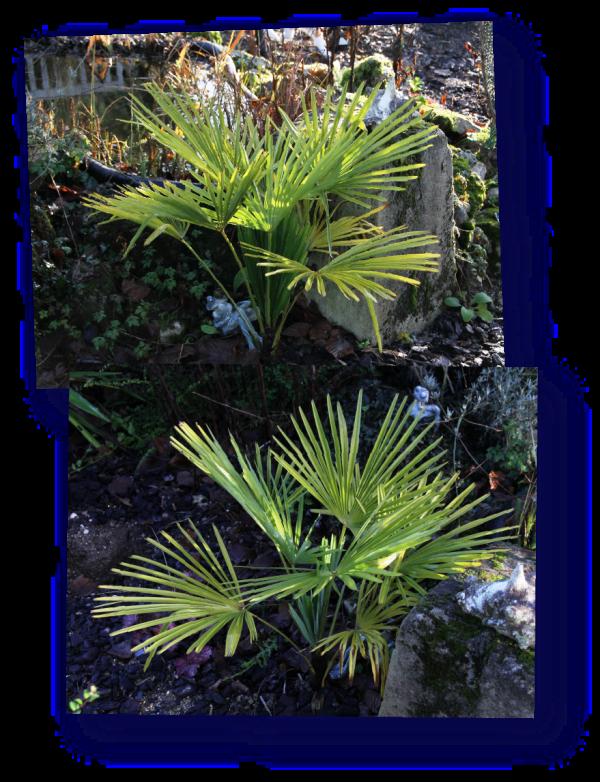palmier chanvre - trachycarpus