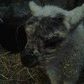 Janvier : agnelage des landes de bretagne