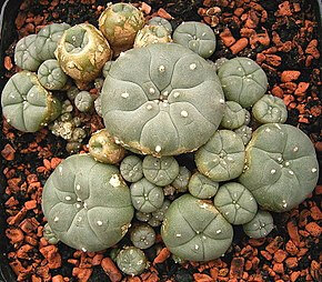 290px-Lophophora_williamsii_ies