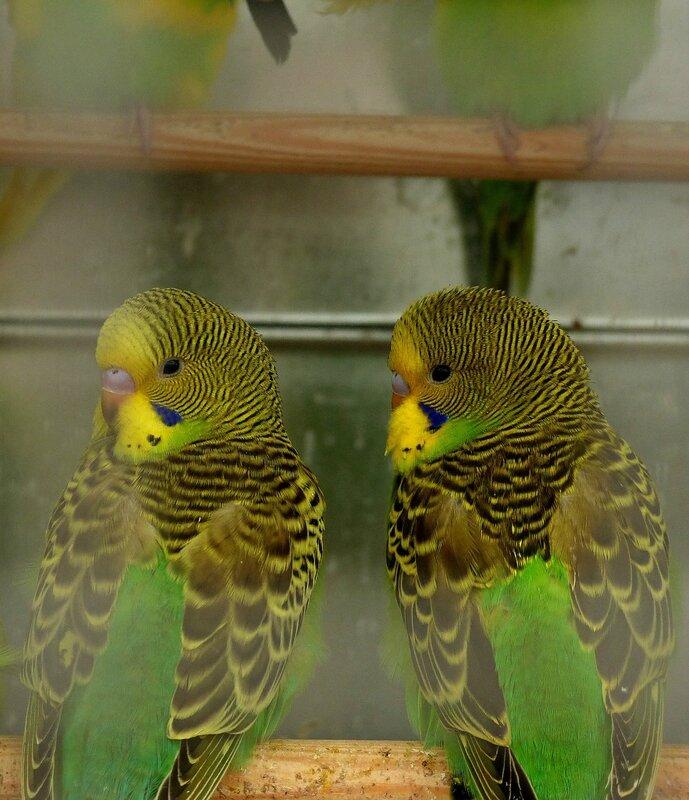 chez tropiflora les oiseaux de viviane (16)