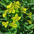 Euphorbia polychroma affichant son vert-acidulé