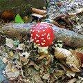 champignon : amanite tue-mouche