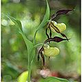 Sabot de venus : cypripedium calceolus