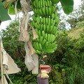 Des régimes de bananes ornent le bord des routes