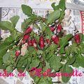 1ère récolte de radis et nouveaux semis !