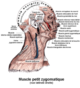 300px_Muscle_petit_zygomatique
