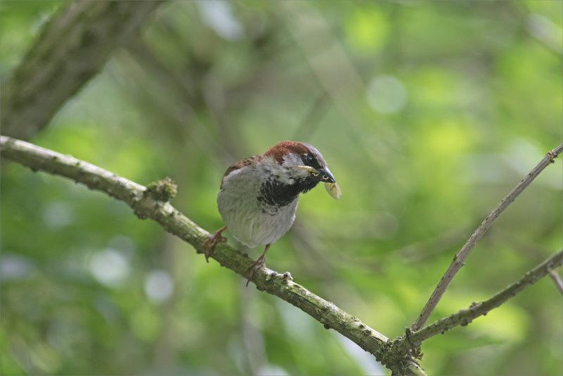 Oiseau moineau insecte bec 180521 3