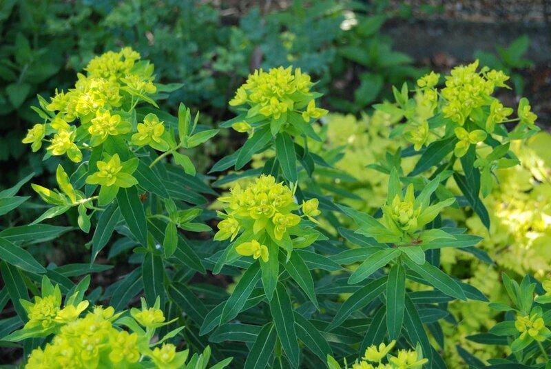Euphorbia valdevillosocarpa'