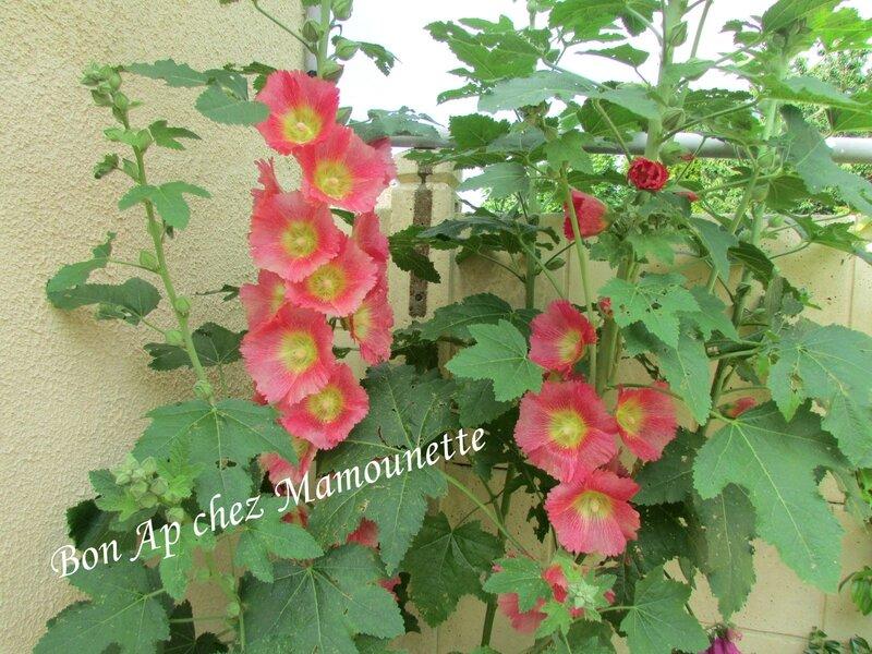 Handy et Isis et les roses trémières fin juin 2014 003