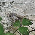 Stauropus fagi<<notodontinae<<