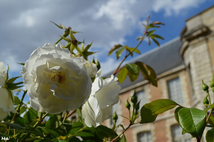 180716_Chartres_rose