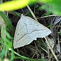 Petrophora chlorosata ( phalène de l'aquiline, des fougères ) ,