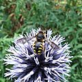 Anthidie (Anthidium manicatum)