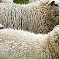 Brest: un mouton retrouvé pendu, égorgé et dépecé dans un parc