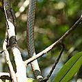 Leptophis ahaetulla