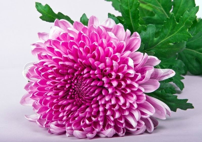 2792737-one-violet-chrysanthemum-on-purple-background