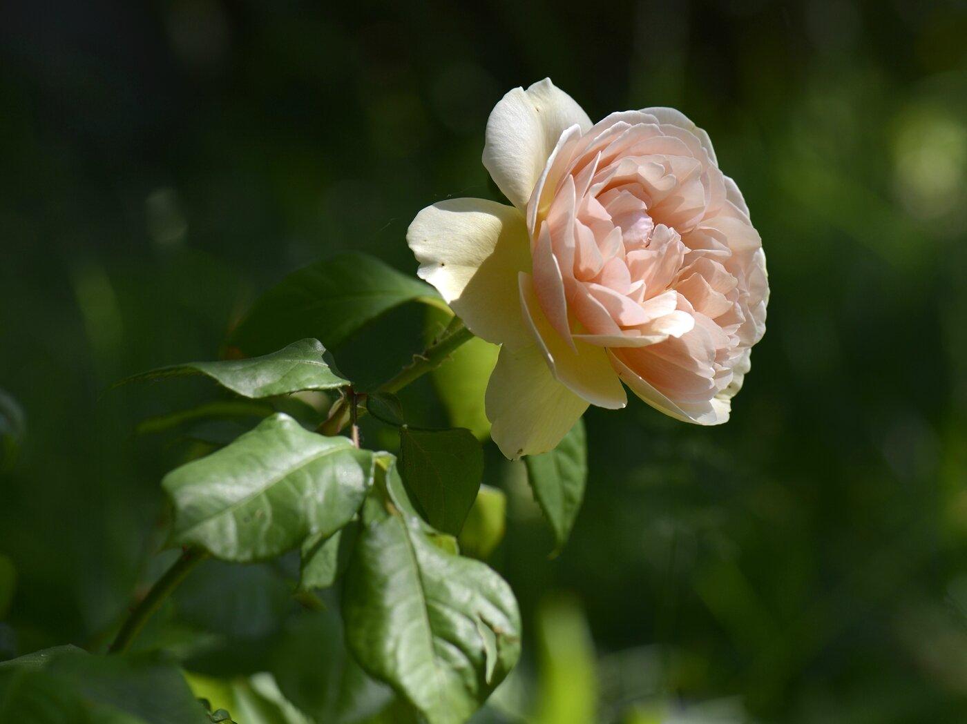 Rose saumon 31