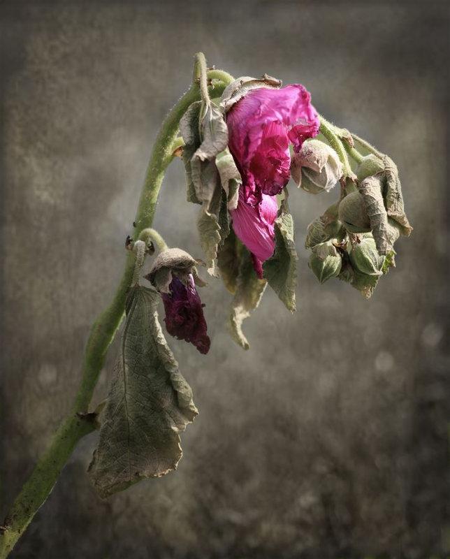 166-Beauté d'une fleur fanéé- GUENÉE Nathalie