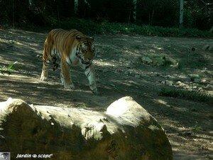 6515_Tigre