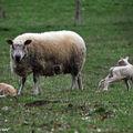 La brebis est ses agneaux