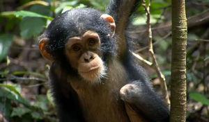 chimpanz_s9