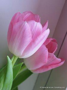Tulipes____la_Bobin_024