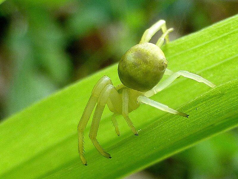 araignée crabe en vert