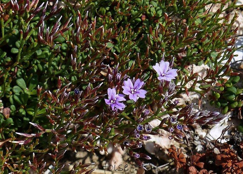 1-2 fleurs en petits épis lâches rapprochés en corymbe