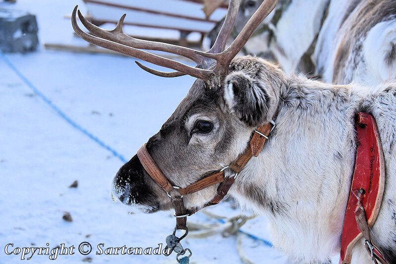 reindeer_rides_for_families_oulu_-39