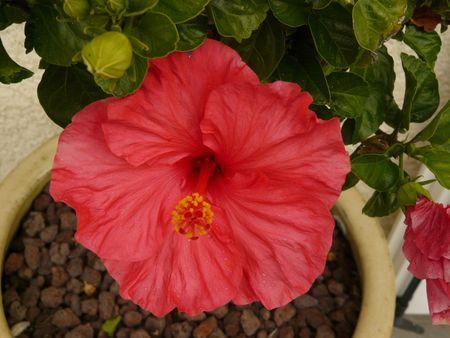 Hibiscus terrasse (1)