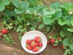 Tartelettes_aux_fraises_Mara_du_jardin___la_p_te_maison_002