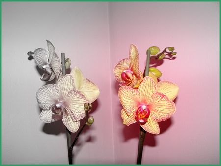 orchidee_h