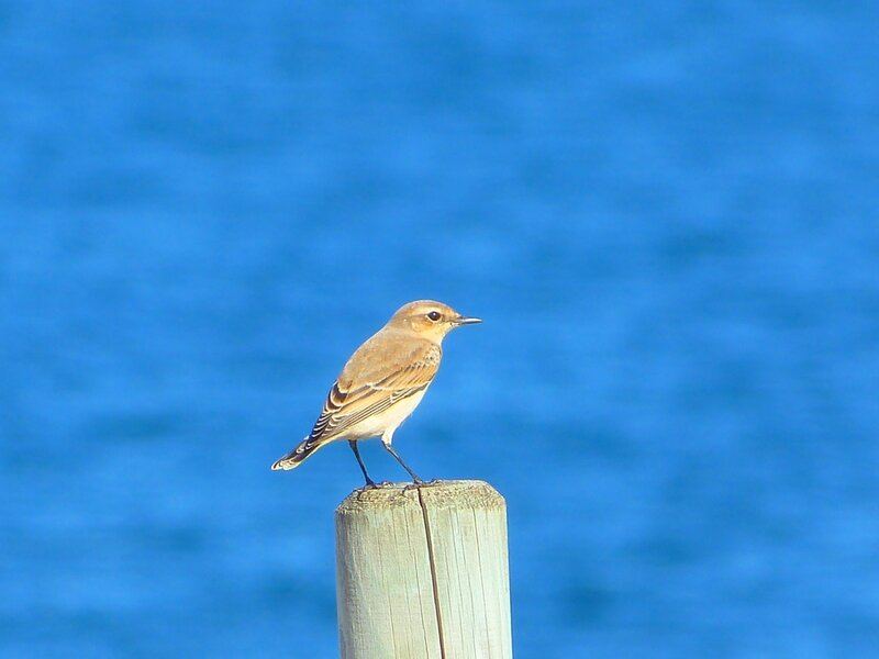 pipit