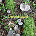 Clitocybe odora