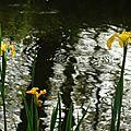 Iris aquatiques 28041613