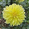 Dahlia-Lemon-Ice