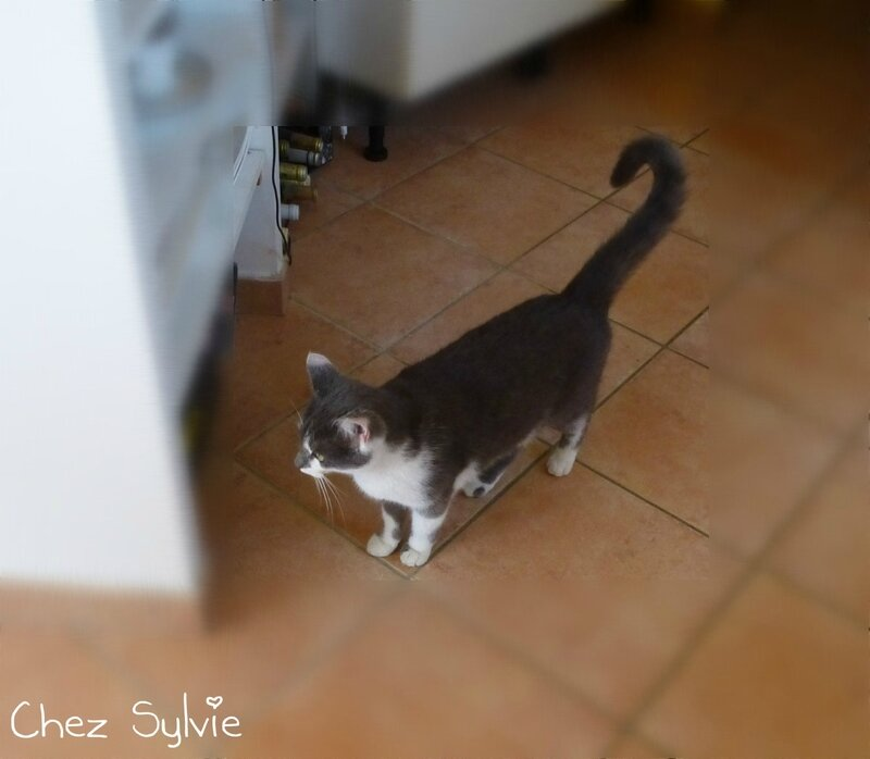 Chat gris01