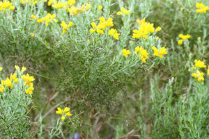 Genista_occidentalis_03_05_2006_3